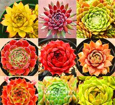 Best-Selling!Home Garden Plant 10 Seeds Rare Sempervivum Mix Succulent Seeds flowers for room,bonsai potted plants * Gift,#SGOSY