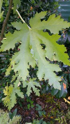 Ficus carica 'Ice Crystal' - A recent introduction with amazing, large, deeply cut dark green leaves that turn a rich butter yellow in autumn. Ice Crystals, Crystals For Sale, Fig Tree Plant, Shrubs For Sale, Plant Nursery, Plant Sale, Trees And Shrubs, Ficus, Norfolk