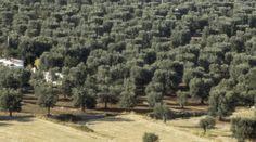 Ελιά: Πως να αυξήσουμε την περιεκτικότητα των καρπών σε λάδι | Yara Ελλάς Vineyard, Country Roads, Outdoor, Outdoors, Vine Yard, Vineyard Vines, Outdoor Games, The Great Outdoors