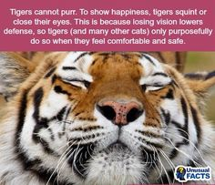 WTF Facts : funny, interesting & weird facts Now I know why Jupiter does this. He thinks he's a tiger! Wtf Fun Facts, Funny Facts, Random Facts, Crazy Cat Lady, Crazy Cats, Lion Tigre, Funny Animals, Cute Animals, Wild Animals