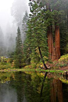 Misty Redwoods by Michael Hansen