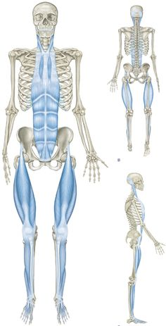 The Superficial Front Line (SFL) connects the entire anterior surface of the body from the top of the feet to the side of the skull in two pieces - toes to pelvis and pelvis to head - which, when the hip is extended as in standing, function as one continuous line of integrated myofascia.