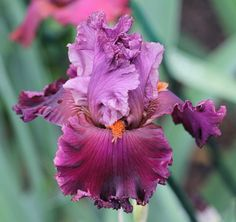 ~TB Iris germanica 'Rarer than Rubies' (Blyth, 2006)