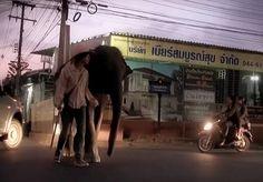 """A controversa história de amor entre Wok, um morador de rua de Bangkok, Tailândia, e seu elefante Nong Mai deu origem ao filme When Elephants Were Young (Quando os Elefantes Eram Jovens), dirigido por Patricia Sims e narrado por William Shatner, que mostra a cruel realidade que por muitas vezes vivem estes animais. O filme conta a vida de uma jovem dupla formada por um homem e um elefante e suas andanças pelas ruas de Bangkok, em meio ao """"mercado dos elefantes"""", os riscos que correm os…"""