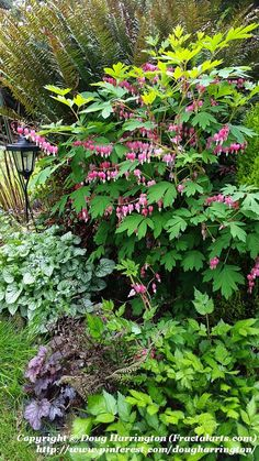 Image result for hostas, bleeding hearts, lacy ferns, astilbe and golden hakone grass