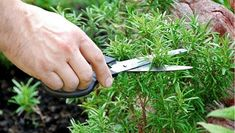 Aceasta planta creste in gradina si ajuta in lupta impotriva caderii parului! Iata cum se prepara remediul
