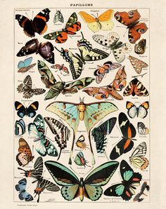 Vintage Butterfly Poster Reproduction: This print comes from Le Petit Larousse Illustré, commonly known simply as Le Petit Larousse, a French-language encyclopedic dictionary published by Éditions Larousse. The original art is by Adolphe Philippe Millot (1 May 1857, Paris –18 December 1921, als