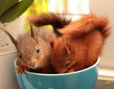 Cupful of squirrels