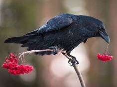 """Konny Lundström (@conny_lundstrom) One of my favorite birds, Raven they can really make you smile. This Raven playing with Rowan…"""""""