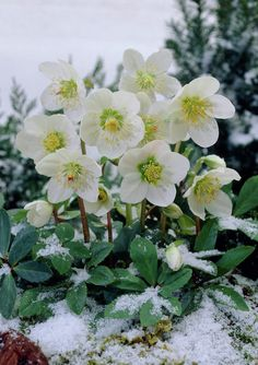 If you want to keep your garden pretty and full with flowers and shrubs this winter, you need to take care of it all the time! Flowers require time and attention. If you're the type of person who gardens even in winter, see these ten pretty plants that can survive the cold weather and snow. Make your garden look like like a winter fairy-tale!