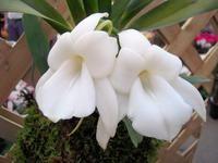 Angraecum magdalenae @marloworchids