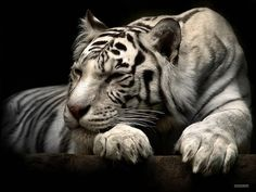 Best Wallpapers White Tiger Sleeping