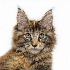 """Regardless of its gigantic size and its provincial look, Maine Coon characteristics is that of a """"delicate goliath"""". Maine Coon is exceptionally warm. Maine Coon Kittens, Cats And Kittens, Cats Bus, Tabby Cats, Siamese Cat, Sphynx Cat, Kittens Cutest, Clean Cat Ears, Large Cat Breeds"""