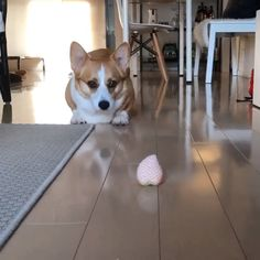 Sneaky boi - My list of the most beautiful baby products Cute Corgi, Corgi Dog, Cute Puppies, Dogs And Puppies, Dog Cat, Funny Animal Memes, Funny Animal Pictures, Funny Dogs, Cute Little Animals