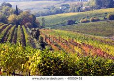Google Afbeeldingen resultaat voor http://image.shutterstock.com/display_pic_with_logo/387973/387973,1257154749,1/stock-photo-vines-for-wine-production-on-the-italian-hills-landscape-of-romagna-italy-valley-with-rows-of-40050451.jpg
