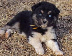 Husky/ Australian Shepherd..so sweet!