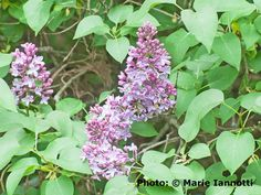 and When to Prune Lilac Bushes When to Prune Lilac Shrubs. - Photo: © Marie IannottiWhen to Prune Lilac Shrubs. Flowering Shrubs, Garden Shrubs, Trees And Shrubs, Lawn And Garden, Garden Plants, Garden Tips, Garden Ideas, Roses Garden, Fruit Garden