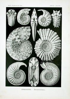 100 Beautiful Illustrations of Biologist Ernst Haeckel - Art Forms of Nature Illustration Botanique, Botanical Illustration, Ernst Haeckel Art, Natural Form Art, Art Vintage, Vintage Images, Poses References, Nautical Art, Vintage Nautical