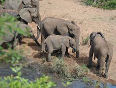 Wildmoz.com-Elephant-Drinking-Hole-Kruger-Drought