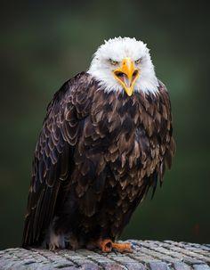 Bald Eagle (Haliaeetus leucocephalus) by Jean-Claude Sch. Eagle Images, Eagle Pictures, Bold Eagle, Black Eagle, Eagle Wallpaper, North American Animals, Where Eagles Dare, Wild Creatures, Big Bird