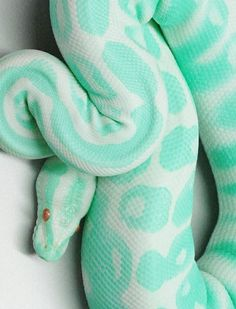 """Pinterest Hoax: """"pastel albino snake"""" [[Photoshopped Albino Ball Python. They're actually yellow and white. - I guess even snakes are in on the latest hipster pastel craze.]]"""