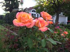 I also like to stop and smell the roses during my morning walks with the dogs.