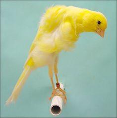 Belgian Canary-Shelbye- Twitting
