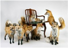 foxes galore.