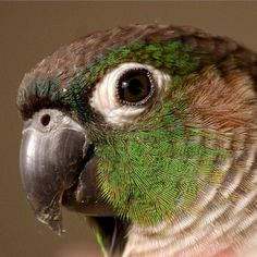 facial feather detail, reference, bird green cheek conures - Kermit is a female green Cheek, who has been a part of our family since mid She is an exceptionally clever bird, and has a playful nature. I Like Birds, Cute Birds, Birds 2, Budgies, Parrots, Beautiful Eyes, Beautiful Birds, Parrot Toys, Conure