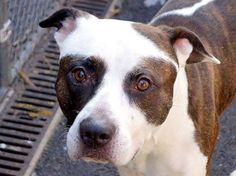 """TO BE DESTROYED 3/4/14 - Manhattan Center HENNESY  A0992625.I'm a male white/br brindle pit bull mix about 3 YRS. Gorgeous Hennesy was so scared during his behavior eval!  Volunteer rave """"He is shy and fearful but if you spend enough time with him, after the hand shy and the hesitations here and there, he will sit next to you, get petted and kiss your hand. I really think he is a good dog. he is beautiful too, healthy, very well groomed .I really like him.""""This pup needs a chance at…"""