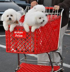A bichon trolley :) Connie going to the grocery store! Cute Dogs And Puppies, Baby Dogs, I Love Dogs, Pet Dogs, Dog Cat, Doggies, Mini Dogs, Bichon Dog, Maltese Puppies