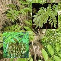 Fresno Común o Altísimo Se lo conoce también como: Lizarra, fragen, quina de Europa. La corteza de este árbol es febrífuga.