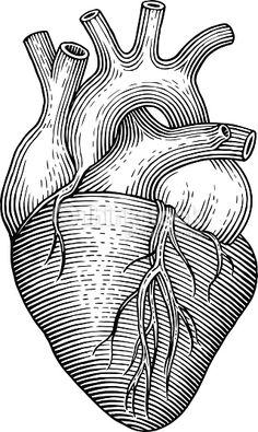 Engraving vector heart isolated on a white backgrounds. Anatomical Heart Drawing, Human Heart Drawing, Victorian Illustration, Heart Illustration, Scratchboard, Vintage Drawing, Linocut Prints, Heart Art, Free Vector Art