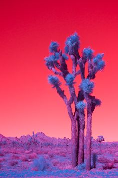 """Palm Springs and Joshua Tree aren't short of standard depictions, which is why Melbourne-based photographerKateBallis's infrared images of the desert town and national park are so striking.   Pools become blood orange, country clubs go neon and trees take on an intense lilac glow. Iconichomesandthe dreamlike landscapesof PalmSpringsand its surroundings feel fresh all over again.   Through her vibrant photos, Ballis wanted to show """"the gems below the surface"""" or """"the riches that lie…"""