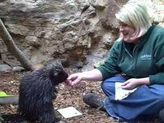 Peanut the Porcupine painting. #animals #porcupine