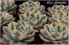 "Echeveria ""Compton Carousel"" 