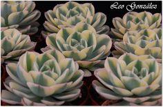 "Echeveria ""Compton Carousel"" | Flickr - Photo Sharing!"