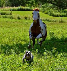 Something went terribly wrong! Hahaha and smiling as he gets away Aussie Cattle Dog, Austrailian Cattle Dog, Aussie Dogs, Cattle Dogs, Horses And Dogs, Dogs And Puppies, Zebras, Herding Dogs, Dog Rules