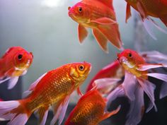 Feng Shui: How Does an Aquarium Attract Wealth?: Feng shui aquariums are a beautiful and potent feng shui cure to attract the energy of wealth and abundance. Placed right, and taken care of wisely, they will amplify the energy in any space and attract more wealth Chi.