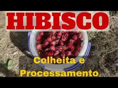 Hibiscus - Harvesting and processing