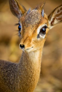 Dik-dik by mikel. dik-dik is a small antelope in the Genus Madoqua that lives in the bushlands of eastern and southern Africa. All Gods Creatures, Cute Creatures, Beautiful Creatures, Animals Beautiful, Beautiful Eyes, Pretty Eyes, Beautiful Eyelashes, Animals Amazing, Pretty Animals