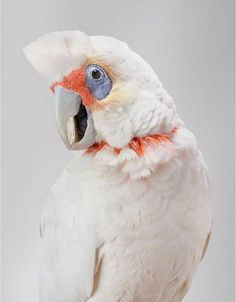 Leila Jeffreys9 Photographer Leila Jeffreys   Wild Cockatoos