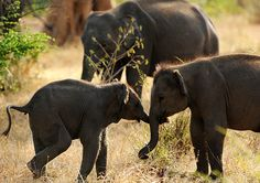 #POACHING #SWD #GREEN2STAY World Elephant Day: Two baby elephants holding trunks http://asiaeco.webs.com/