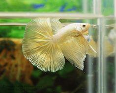 Gorgeous pale gold halfmoon