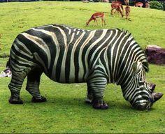 Rhino-zebra hybrid