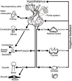 Leukocytes! Neutrophils, Lymphocytes, Monocytes