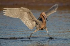 The Dance of the Reddish Egret. Photograph by Dennis Zaebst - Captured at North Beach at Fort De Soto County Park in Pinellas County, Florida