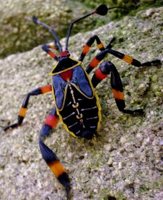 coolest beetle i've ever seen in real life. summer 2010, guatemala.