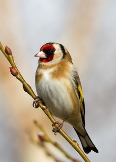 Goldfinch Poser. I'm over the moon with this shot though my best goldfinch yet!