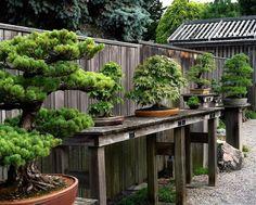 Weyerhaeuser Bonsai garden, Aureliak